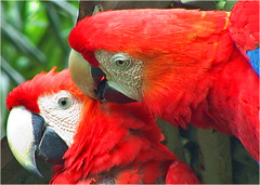Scarlet Macaws grooming | by Dawn on the Amazon