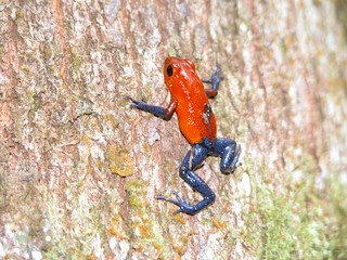 Poison Dart Frog  Costa Rica | by Melissa_Losos