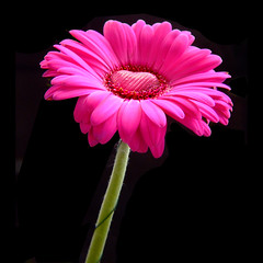 Happy Valentines Day - pink gerbera with a heart of chocolate | by Vanessa Pike-Russell