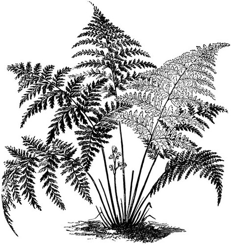 clipart fern copyright free from dover publications dover clip art cd dover clip art online