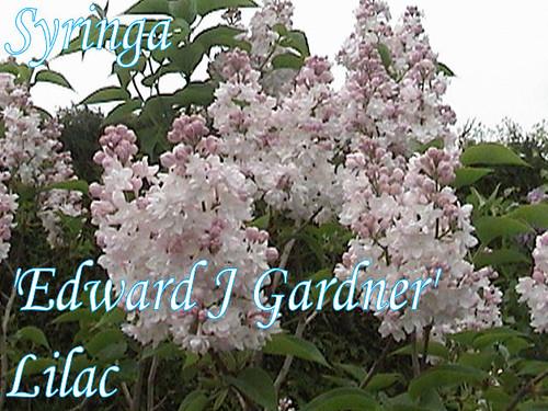 Syringa 'Edward J Gard...