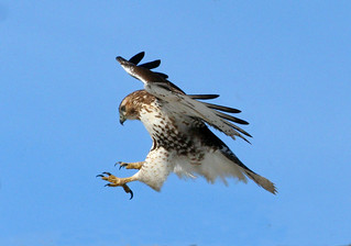 Red-tailed Hawk | by Hard-Rain