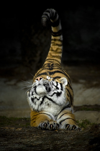 Big cats stretch too | by SubyRex