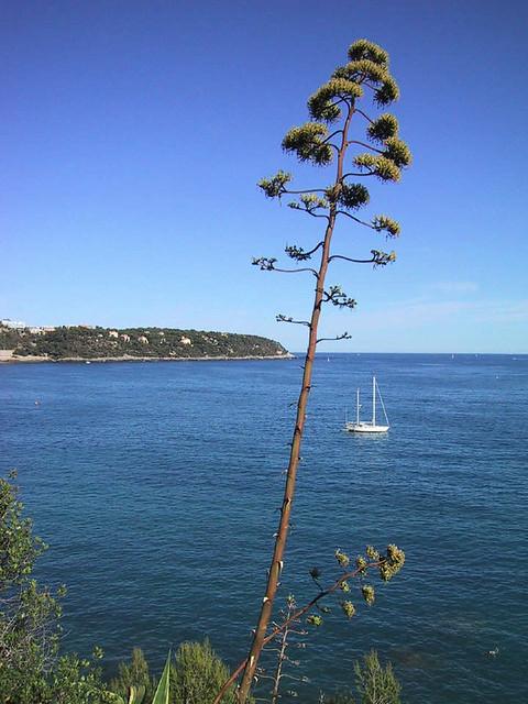 Fleur D Agave Sur La Mediterranee Munegu2 Flickr