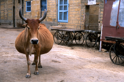 Fattest Cows Fattest Cow in The World