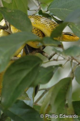 Grey Tailed Racer Snake Borneo Sabah Malaysia