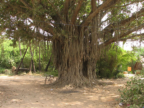 India - Sights & Culture - 010 - Banyan Tree | by mckaysavage