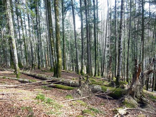 Hayedo-Abetal pirenaico_hábitat sp boreales amenazadas