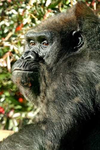 Lowland Gorilla  @ National Zoo 018 | by smata2