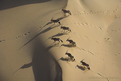Oryx on dunes | by Michael Poliza