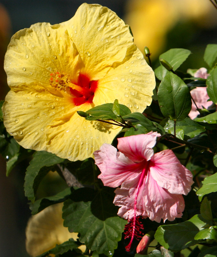 Hibiscus the hawaii state flower i was in the passenge flickr by ollie girl hibiscus the hawaii state flower by ollie girl izmirmasajfo