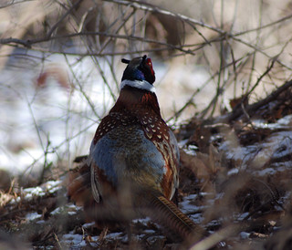 Pheasant from behind | by BobMacInnes