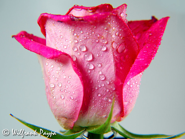 Good Morning Rose   Flickr - Photo Sharing!