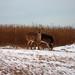 Deer Foraging at Sachuest NWR, Middletown, RI