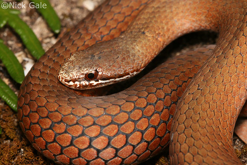 White-lipped snake (Drysdalia coronoides) | by Nick Gale