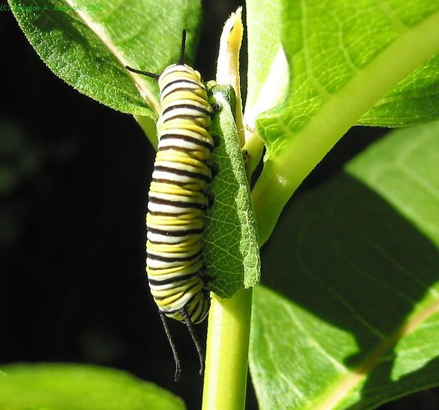 milkweed monarch butterfly symbiotic relationship