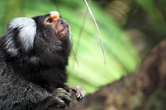 Marmoset | by Ian Junor