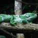 Shedding Iguana