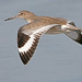 Willet, bird on Morro Strand State Beach willet-16x12-7523max Willet (Tringa semipalmata) Bird, Morro Strand State Beach, Morro Bay, CA