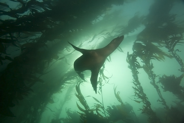 Diving California Kelp Forest in California Kelp Forest