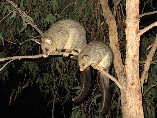 Possums | by wollombi