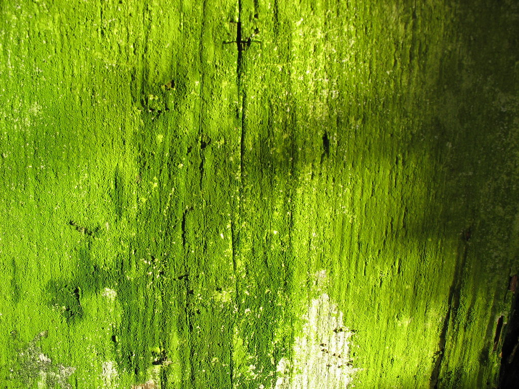 Green Moss Like Algae On A Rotting Wood Wall Moss Not