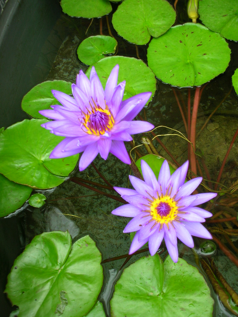 Lily pads and purple flowers lily pad flowers rose gordon flickr lily pads and purple flowers by rogobliss izmirmasajfo