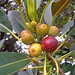 Fruit of the ficus