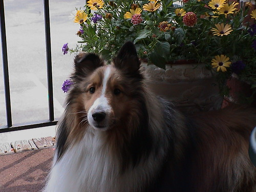 Pretty pose | by Sheltie Nation