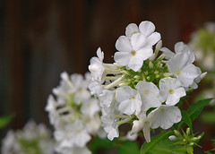 Phlox | by VickerMonkee