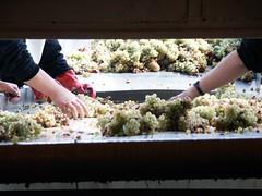 Ankara Akyurt Winery- Woman Workers