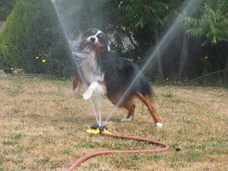 Gryffin playing in the sprinkler 1 | by rowkitcat