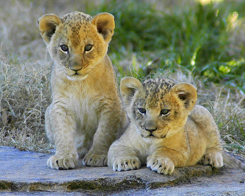 Lion cubs | by ucumari photography