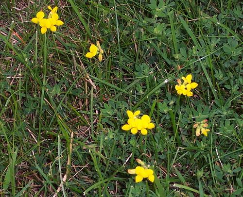 Birdsfoot Trefoil (Lotus Corniculatus)