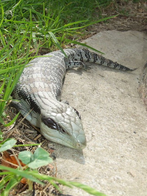 blue tongue lizard in my backyard i was moving boxes