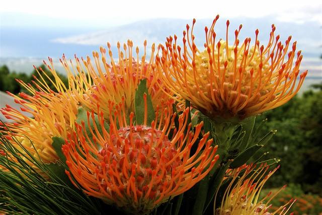 proteas on maui protea flowers growing on maui the west