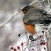 Winter thrush