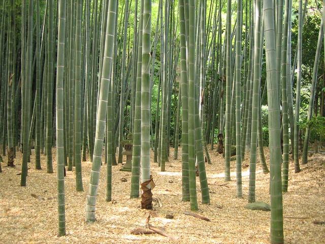 Kamakura Hōkoku Ji Bambuswald Bamboo Forest ɑlɑstɑr O Clɑonɑ In