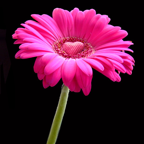 Chocolate heart on a pink gerbera daisy flower for you! (square) | by Vanessa Pike-Russell