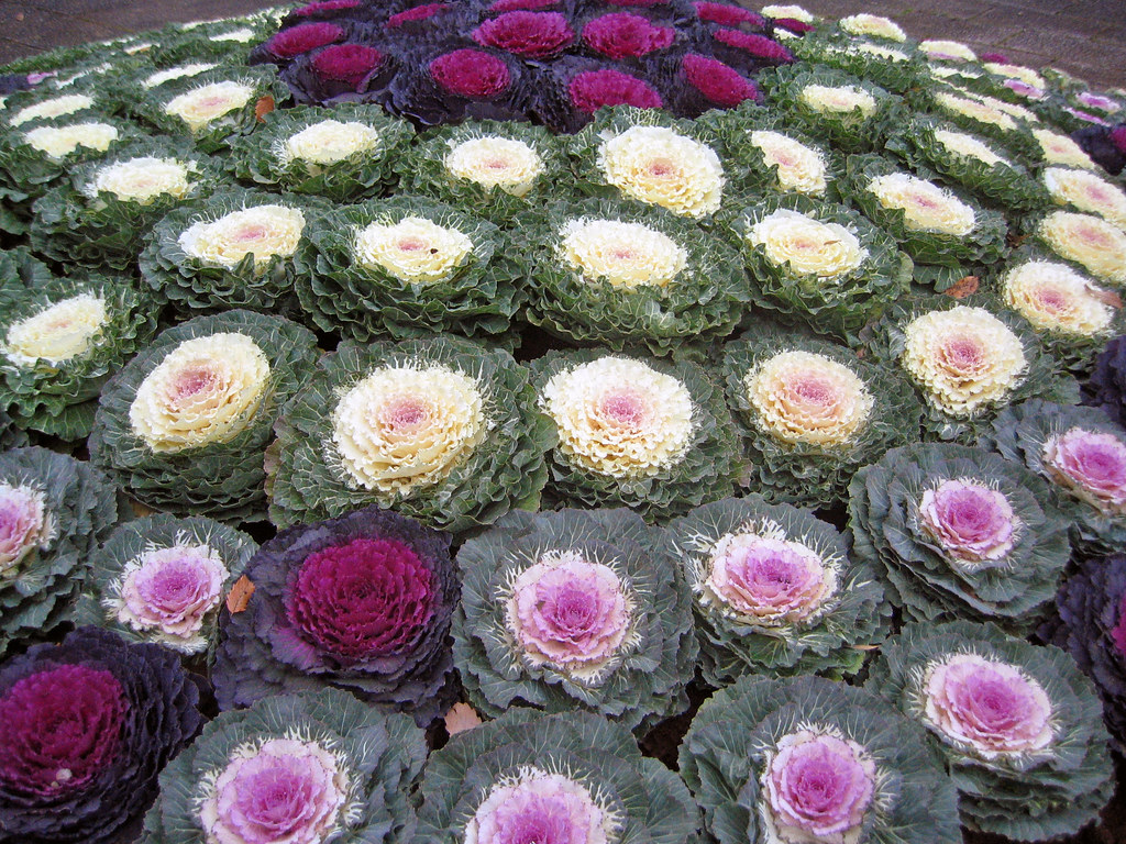 cabbage flower bed ruth hartnup flickr