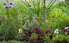 the sage corner in herbgarden early may | by kitchenmage