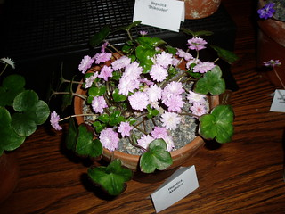 Hepatica Akebono | by RHR Horticulture