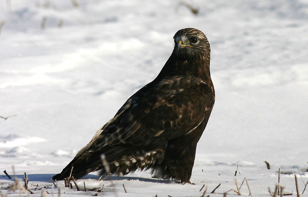 Rough legged hawk by terry swanson laporte co 3 10 05 for Jobs in laporte co