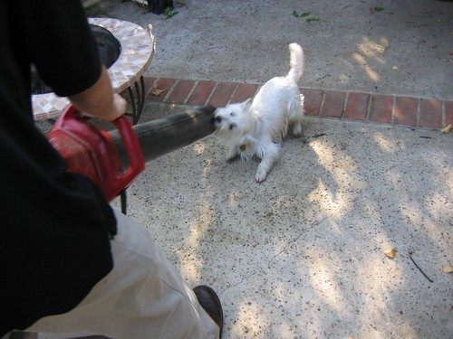 Wee Westie Attacks the Blower | by Randy Son Of Robert
