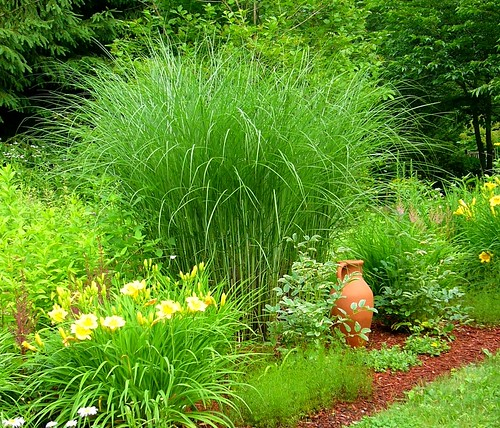 miscanthus 39 gracillimus 39 miscanthus 39 gracillimus 39 with cla flickr. Black Bedroom Furniture Sets. Home Design Ideas