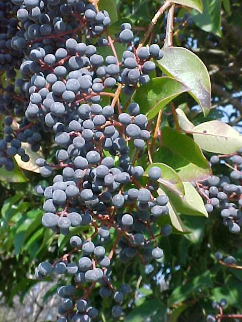 Privet Berries East Cambridge On A Tall Shrub Limbed