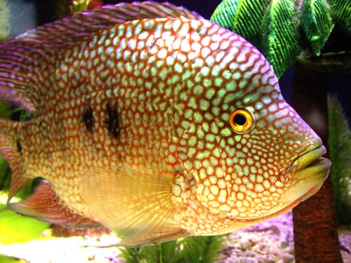 Female flowerhorn for sale in bangalore dating 1
