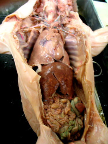Index also Fetal Pig Dissection Digestive System Diagram as well Beagle Bonez likewise What Is Blood Made Of in addition Fhs121elab wordpress. on human circulatory system lab