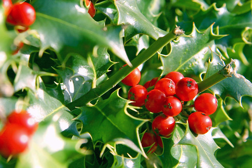 Holly and Berries | by webmink