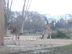 Girafes | by clotilde
